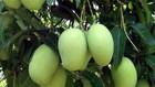 農業與農村發展部植物保護局:美國准許進口我國芒果。(示意圖源:互聯網)
