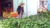 Chưa xác định thương lái mua trái và lá nhàu tươi tại Cà Mau