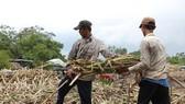 Sugar price falls, high inventory