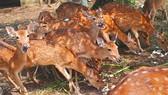 Deer breeders earn hundreds of billion dong from selling velvet antlers
