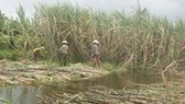 Sugar cane farmers in Hau Giang at risk of losing because of flooding