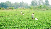 Farmers in the Mekong delta stop rice cultivation and swith to veggies (Photo: SGGP)