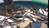 Cá vớt lên chạy lũ của ngư dân Quảng Ngãi bán không ai mua
