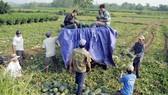 Nông dân thu hoạch dưa hấu. Ảnh: NGUYỄN TRANG