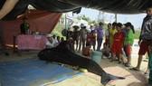 Cá voi dài 2,5m dạt biển Lệ Thủy