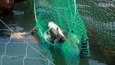 cá chết ở cảng Dung Quất