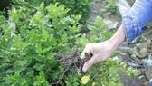 Nông dân trồng hoa tết ở Quảng Ngãi lo lắng