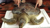 22kg sea turtle released back to natural environment