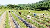 Giá ớt tăng cao, nông dân đổ xô trồng ớt