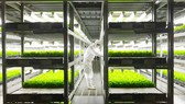 Trang trại sản xuất rau diếp bằng hệ thống tự động ở Nhật Bản