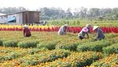 Làng hoa Tân Ba (Tân Uyên) nằm bên sông Đồng Nai sẽ là điểm tham quan mỗi dịp tết đến