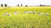 """Xây dựng 30.000ha """"cánh đồng lớn"""" gắn với nông dân"""