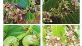 Phòng trừ sâu bệnh hại cây điều bằng biện pháp sinh học