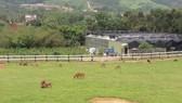 在藍天綠蔭下,遊客可與牛羊接觸,以享受做牧工的初體驗。