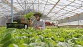 大勒農民耕種疏菜銷往本市市場。