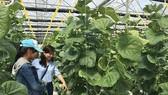 網舍中所種植的日本種網瓜與香瓜帶有高經濟效益。