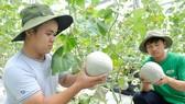 我國種植優質哈蜜瓜出口。