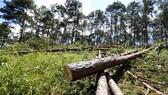 林同省樹林遭人非法大量砍伐現場。(圖源:段堅)