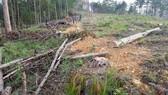 """Rừng phòng hộ ở Lâm Đồng bị """"giết chết"""" như thế nào?"""