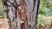 Hơn 670 cây thông bị khoan lỗ, tiêm thuốc độc chờ chết