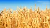 Sau cuộc đối thoại, Cục Bảo vệ thực vật lùi lệnh tái xuất lúa mì lẫn hạt cỏ