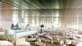  Pig supply drop has highly increased prices but still ensured domestic consumption demand