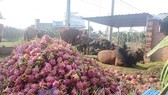 Dragon fruits are used for feeding cattle in Binh Thuan province (Photo: SGGP)