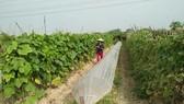 An organic vegetable farm in Hanoi (Source: VNA)