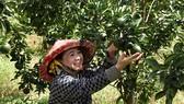Người dân huyện Tân Uyên vui với vườn cam trĩu quả
