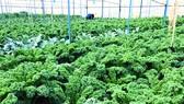 Một dự án được vay vốn phát triển nông nghiệp sạch tại TP Đà Lạt  Ảnh: Huy Anh