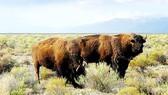 400 con bò rừng quý hiếm chết đuối