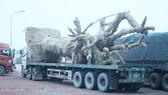 Xe chở cây siêu khủng đang bị cơ quan chức năng tạm giữ tại Quảng Trị.