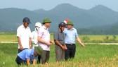 Lãnh đạo huyện Đức Thọ, tỉnh Hà Tĩnh đi kiểm tra ruộng lúa bị nhiễm đạo ôn