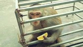 Giao nộp khỉ vàng quý hiếm để thả về tự nhiên
