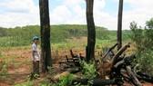 Rừng thông bị chặt hạ để bán đất rừng cho người dân