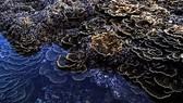Rạn san hô ở hòn Yến