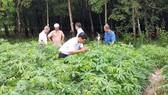 Khảo sát diện tích trồng mì bị nhiễm bệnh khảm lá ở Tây Ninh