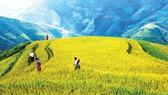 Đồng bào Mông đi thăm lúa, làm cỏ để chuẩn bị mùa thu hoạch
