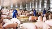 Ngành chăn nuôi heo đang gặp nhiều khó khăn