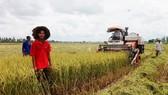 Út Tiếng trên cánh đồng trồng lúa sạch