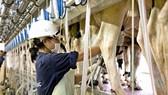 Sản xuất sữa nguyên liệu có hàm lượng Omega 3 tự nhiên
