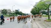 Trâu bò thả rong trên đường phố