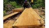 Công ty trồng rừng cưa cây tự nhiên