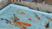 Chuỗi liên kết giúp nâng cao giá trị cá cảnh