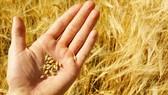 Tạm dừng áp dụng quy định tái xuất lô hàng lúa mì lẫn hạt cỏ kế đồng