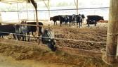 Chuyển giao công nghệ nuôi bò thịt của Sawai Farm (Nhật Bản)