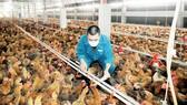 Nuôi gà cung ứng thị trường TPHCM và các tỉnh, thành tại Tổng Công ty Nông nghiệp Sài Gòn. Ảnh: CAO THĂNG