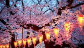 Mùa hoa anh đào Nhật Bản sẽ đến sớm