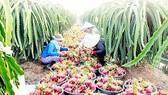 Ngành rau quả Việt Nam xuất siêu 452 triệu USD