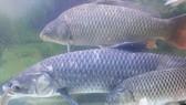Hội chợ giới thiệu các loài cá đặc sản của Việt Nam